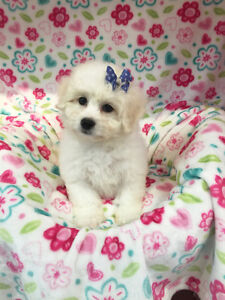 Beautiful purebred Bichon Frise puppy-one boy left