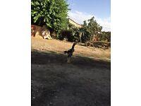 Shamo birds