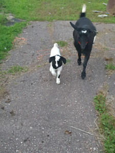 Fainting goat for sale