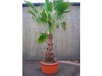 Huge mexican fan palm