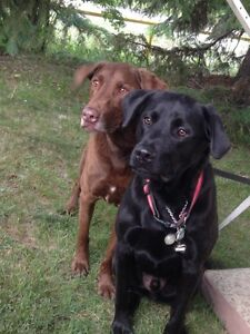 Lost dogs in westmount area - black lab & chocolate lab