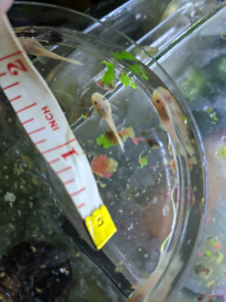 Plecos for tropical fish tanks