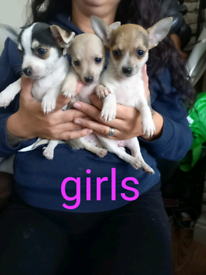 Jack x chihuahua puppies