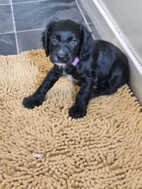Beautiful spaniel girl pup forsale