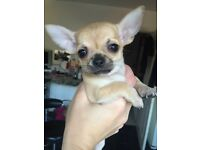 Beautiful fawn pedigree chihuahua puppy
