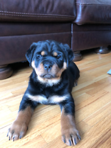 Georgous CKC Registered German Rottweilers - Ready To Go!