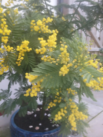 Extra large Mimosa tree