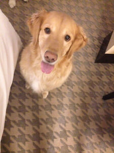 7 years old female Golden Retriever looking for new home