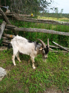 Pet Goats, AWESOME Weed-Eaters!