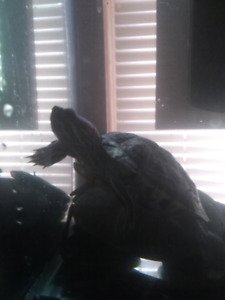 Red eared domestic Turtle