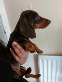 Miniature Dachshund female puppy