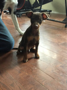 PB Chocolate Miniature Pinscher Pups