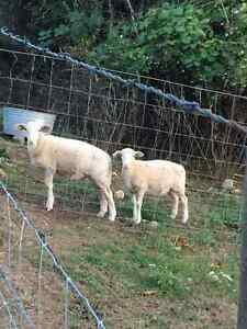 Katahdin or Katadin/Dorper Bred Ewes and lambs for sale