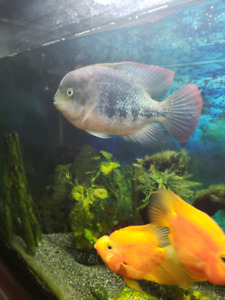 5 parrot fish 1 fire belly for sale