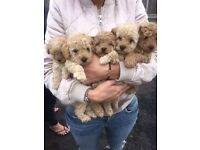 Apricot toy poodle puppies for sale