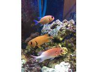 3 squirrel fish for saltwater aquarium for sale