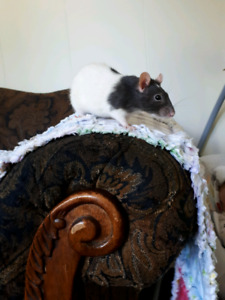 Looking for a pet rat