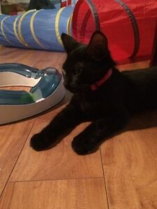 Chaton en adoption