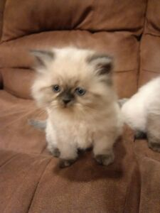 Female Himalayan Kitten only 1 left