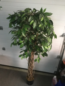 Ficus silk tree
