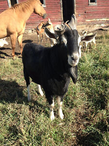 3 year old Alpine male goat