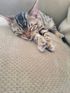 Stunning male tica registered Bengal ready to go