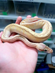 Emperor Pin Females (Pos. Super) - 2017 Ball Python