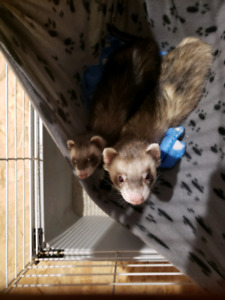 Ferrets for sale. 450$ (needs a new home) asap