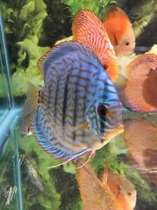 Limited opportunity 20 %OFF Discus! Delivery rate reduced!