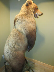 Grizzly bear life size mount for sale.