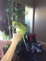 Friendly, talking Quaker Parrot