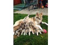 Northern Inuit cross Siberian husky puppies