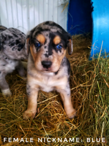 Border Collie X Yellow Lab mix Puppies for sale