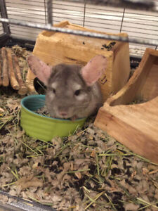 fat mosaic and standard grey chinchilla looking for new home