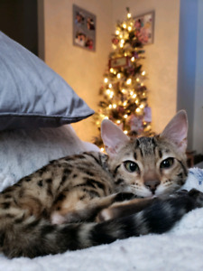 *Price reduced* Beautiful Rosetta Bengal Kitten