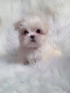 ❤️ Tiny Teacup Doll Face Maltese puppies ❤️