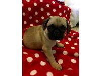 Full pug PRICE DROP ALFIE