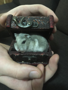Female and Male Campbell Dwarf Hamster for Sale (2 Months Old)