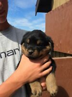 Purebred rottwieler pups for sale
