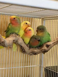 Beautiful Hand Tame Baby Lovebirds