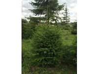 Real Christmas trees Xmas trees Norway spruce-nordmann fir-blue spruce