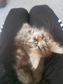 Female Tabby kitten - £300