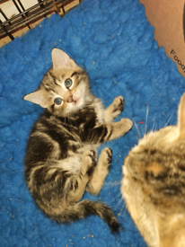 Kittens (Bengal cross) 1 boy 1 girl (ready 7th and 12th May)
