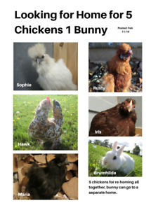 5 CHICKENS 1 BUNNY FOR RE-HOMING
