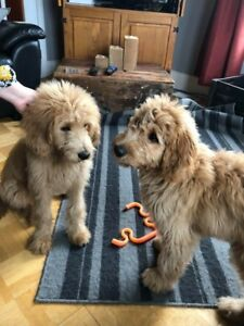 PUPPIES AND MORE PUPPIES - GOLDENS AND DOODLES