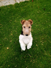 Pups In County Down Dogs Puppies For Sale Gumtree