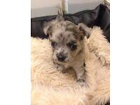 Blue Merle chihuahua puppy