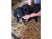 11 Labrador Retriever Puppies for sale ONLY 3 LEFT