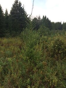 "Mixed coniferous trees From 6"" to 60' Kawartha Lakes Peterborough Area image 7"