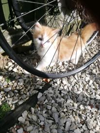 Fluffy Ginger kittens 3boys 1 girl
